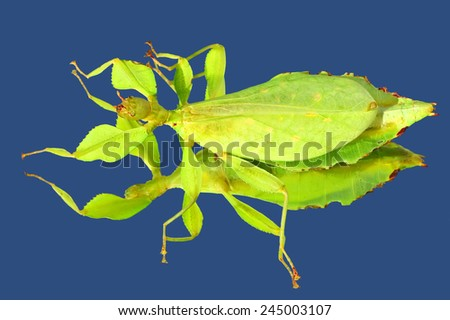 Walking stick insect - leaf insect (Phyllium giganteum) with mirror blu sky reflection  - stock photo