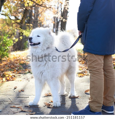 Walking the Arctic Spitz Samoyed dog on a leash, outdoor composition - stock photo