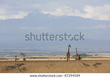 Walking through Aberdare National Park, two giraffes spotted us from above the treelines, and made their way further into the park with Mt Kenya in the background. - stock photo