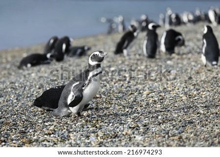 Walking with Magellanic Penguin Colony at Martillo Island, Argentina - stock photo