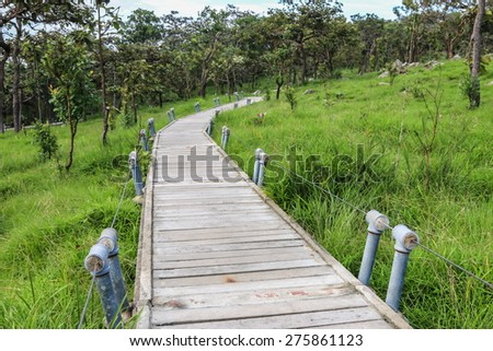 Walkway for Siam tulips blooming in the jungle at Chaiyaphum province, Thailand.  - stock photo