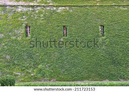 Wall covered with ivy with three windows - stock photo