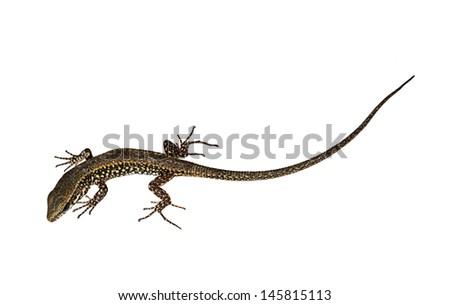 Wall lizard, isolated  - stock photo