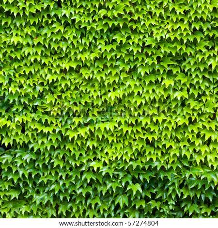 wall of wild grape leafs - stock photo