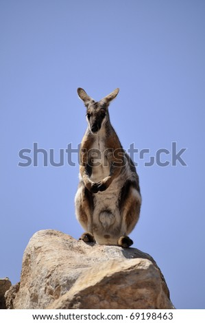 wallaby - stock photo