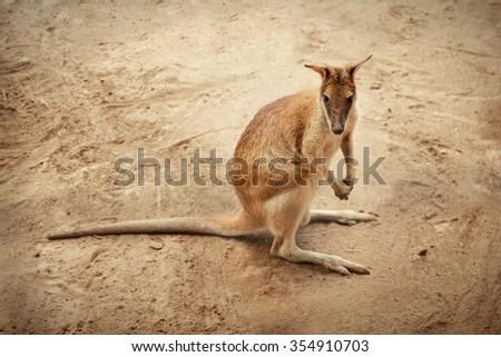 Wallaby / a small kangaroo, looking at camera - stock photo