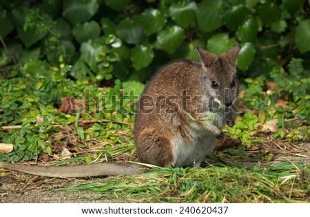 Wallaby, Australia - stock photo