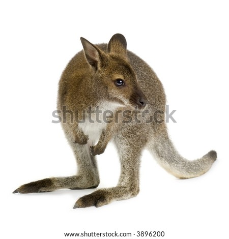 Wallaby in front of a white background - stock photo