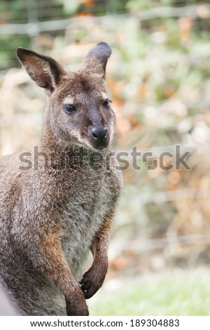wallaby, small kangaroo from australia - stock photo