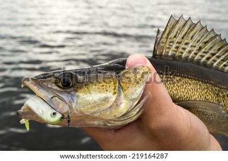 Walleye caught on dropshot bait - stock photo