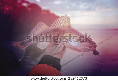 Walleye caught on handmade jig lure in misty autumn morning, toned image - stock photo