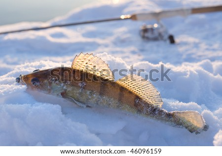 Walleye caught on jig lure is lying on ice in last rays of sunlight, rod in the background - stock photo