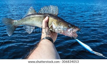 Walleye fish caught on wobbler bait - stock photo