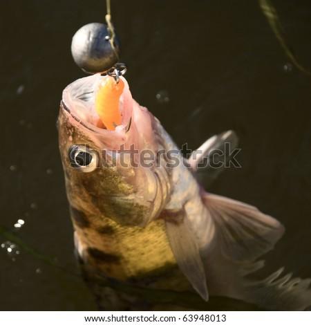walleye on the hook - stock photo