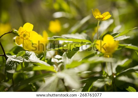 wallpaper of close up of yellow windflower with selective focus and shallow DOF - stock photo