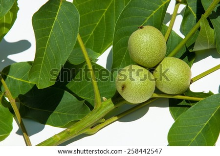 Walnut milk ripeness. not ripe, green.  walnut, nutwood, walnut-tree. the large wrinkled edible seed of a deciduous tree,  - stock photo