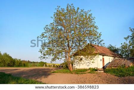 walnut tree near an old abandoned building Ukrainian - stock photo