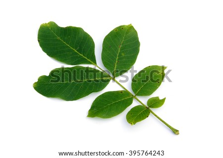 Walnuts' leaves - isolated on white            - stock photo