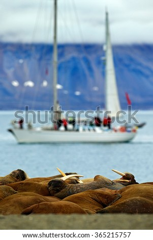 Walrus colony, Odobenus rosmarus, stick out from blue water on pebble beach, blurred boat, yacht, with mountain in background, Svalbard, Norway - stock photo