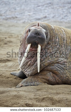 Walrus family haul out - stock photo