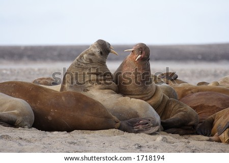 Walrus haul out - stock photo