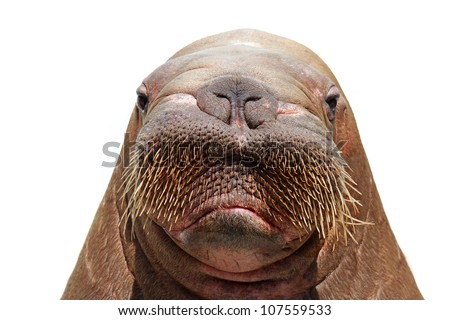 walrus head isolated over white - stock photo