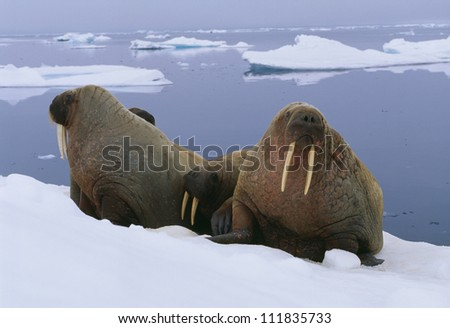 Walruses on ice floe - stock photo