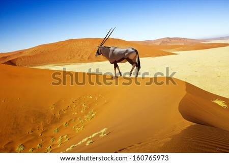 Wandering dune of Sossuvlei in Namibia with Oryx walking on it - stock photo