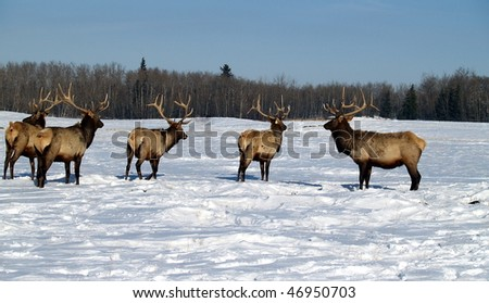 Wapati Elk herd on a commercial breeding farm near Edmonton, Alberta - stock photo