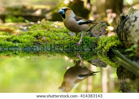 Warbler, hawfinch, sitting in the water, the bird in a nature habitat, spring nesting, reflection - stock photo