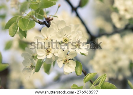 Warm color toned image of blooming fruit tree. Blossoming apple-tree . - stock photo