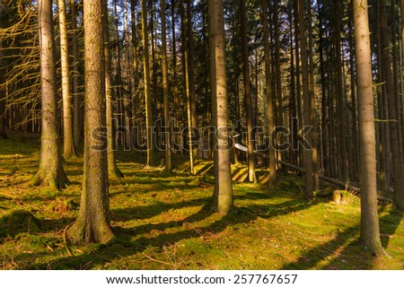 Warm looking wide angle photograph of aged spruce forest. Main focus point on bottom left hand side corner tree - stock photo