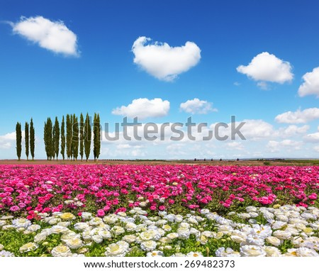 Warm spring day. Away visible cypress alley. Bright festive purple and white blooming field of buttercups - stock photo