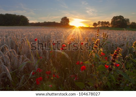 Warm sunlight shining over grain field and poppies - stock photo