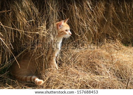 Warrantable, ginger cat hunts mice in the hay. - stock photo