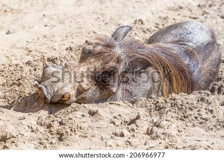 Wart hog sleeping closeup in the hole - stock photo