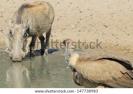 Warthog and Vulture - Wildlife and Scavenger from Namibia, Africa - A stare down between natural enemies.  The vulture clearly sees a great meal, while the warthog sees only a rotten chef.  - stock photo