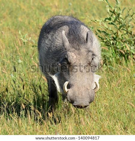 warthog in Botswana�´s nature reserve - stock photo