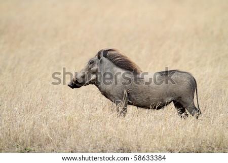 Warthog in grasslands of the Serengeti, Tanzania - stock photo
