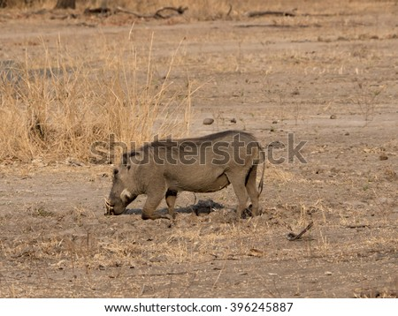 warthog in the African savannah  - stock photo