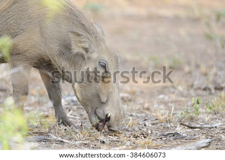Warthog (Phacochoerus aethiopicus) forages over ground laid bare by drought in search of some sustenance. kwazulu Natal, South Africa - stock photo