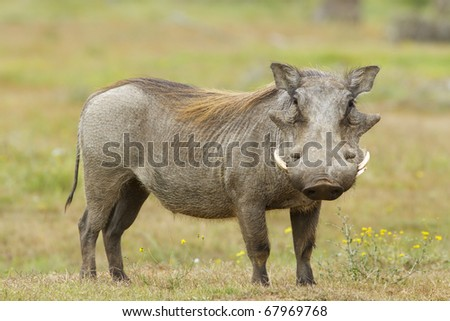 Warthog profile - stock photo