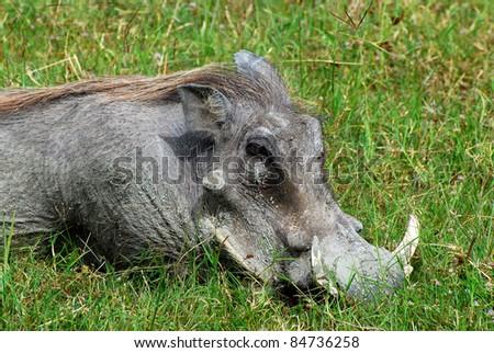Warthog Resting - stock photo
