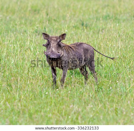 Warthog stands on a green meadow - Kenya, Eastern Africa - stock photo