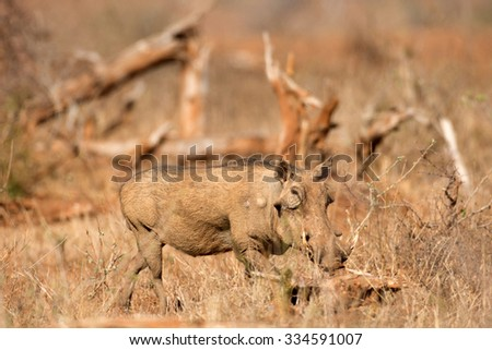 Warthog walking through a field in Kruger National Park, South Africa - stock photo