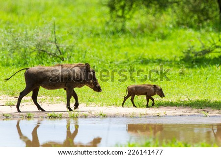 Warthogs near a water hole  in Tarangire national park in Tanzania - stock photo