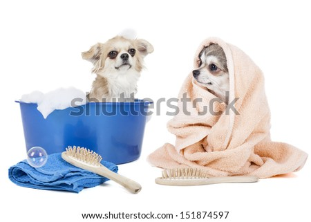 Wash the dogs (grooming dog) on a white background in studio - stock photo