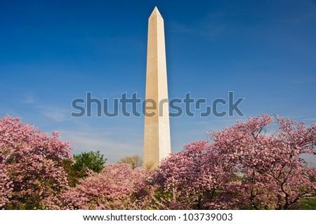 Washington DC cherry blossom with Washington Monument. - stock photo
