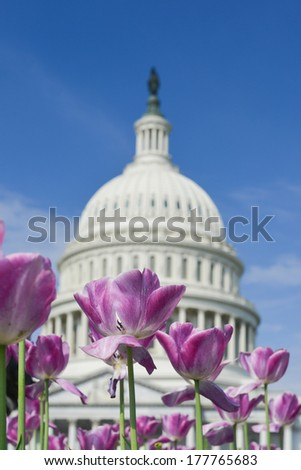 Washington DC - Tulips and Capitol Building in Spring - stock photo