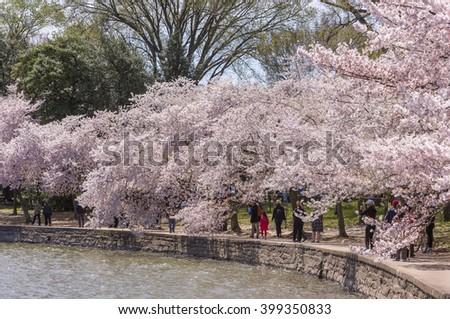 WASHINGTON, DC, USA - MARCH 30, 2016: People enjoy cherry trees blossoms at Tidal Basin. - stock photo